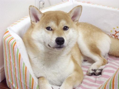 柴犬ズン画像080108