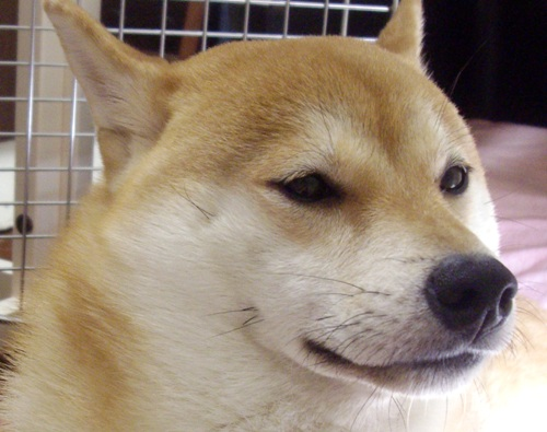 柴犬ブログランキング参戦中!8.03のズンは何位かな?
