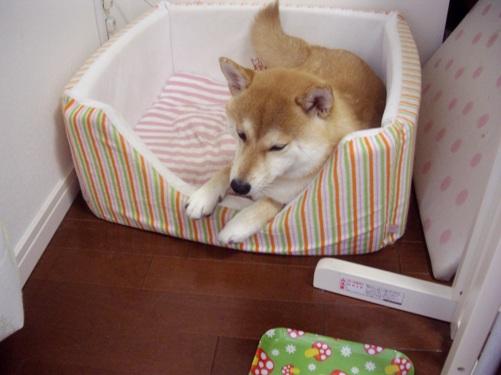 柴犬ズン画像080507