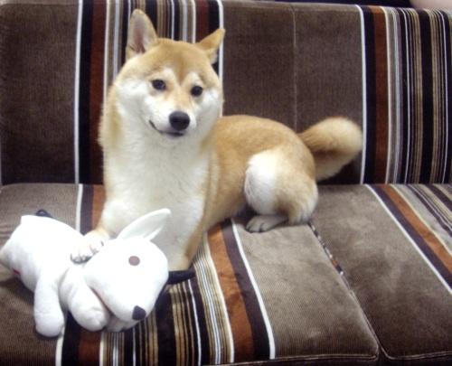 柴犬ズン画像080501
