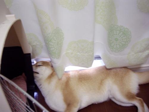 柴犬ズン画像080603