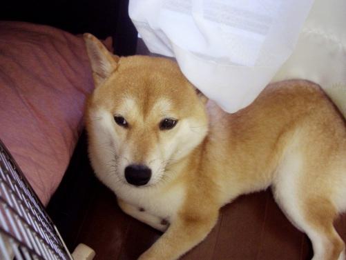 柴犬ズン画像080609