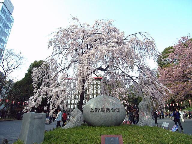 枝垂桜001