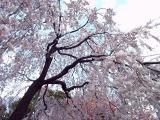 枝垂桜002