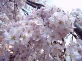 枝垂桜003