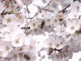 枝垂桜とミツバチ