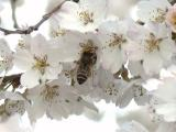 枝垂桜とミツバチ(アップ)