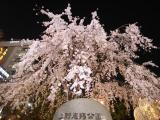 枝垂桜004