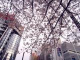 数寄屋橋の桜02