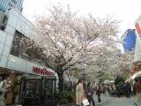 数寄屋橋の桜03