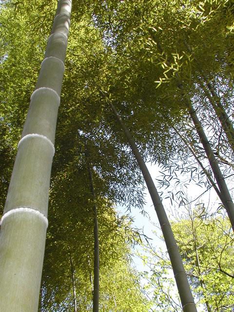 天に伸びる竹