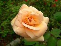 13日撮影薔薇
