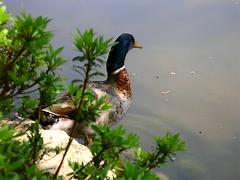 円山公園の池にいた