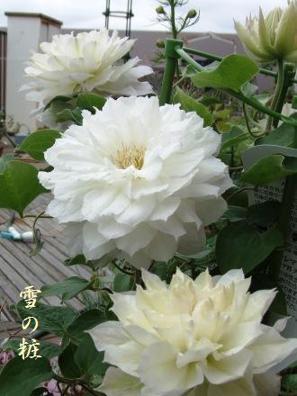 雪の粧開花