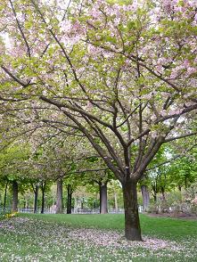 桜散る2008