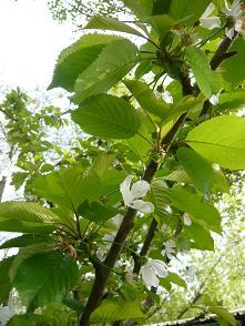 ダニエルのサクランボの花