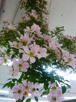 高島屋のバラ