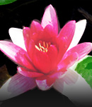 do_waterlily