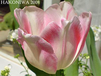 チューリップ白ピンク1