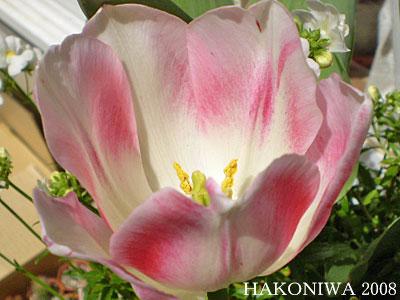 チューリップ白ピンク2