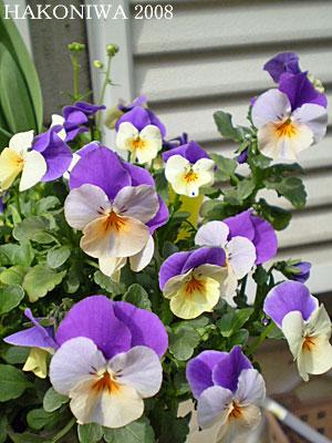 ビオラ白紫1