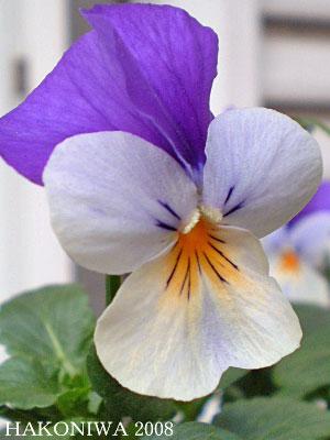 ビオラ白紫2