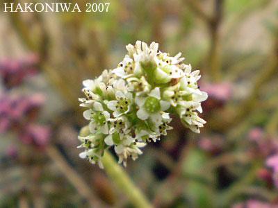 高千穂花1
