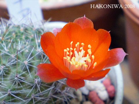 レプチア花4
