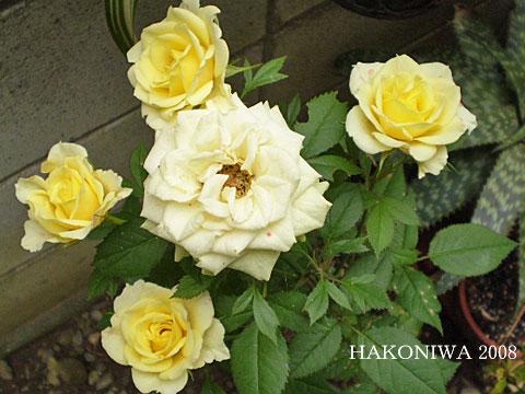 黄バラ20081