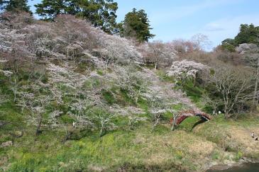 桜淵公園 斜面の桜