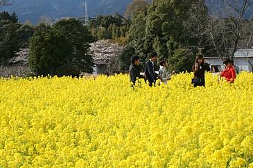 桜淵公園 菜の花