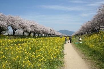 佐奈川堤 菜の花