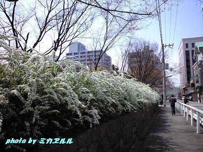 雪柳CA390076