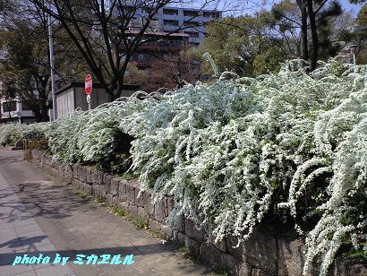 雪柳CA390077