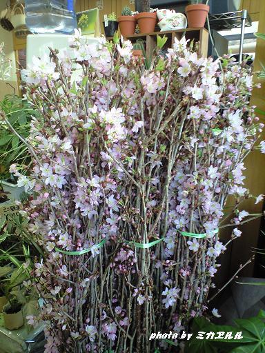 春の花CA390086