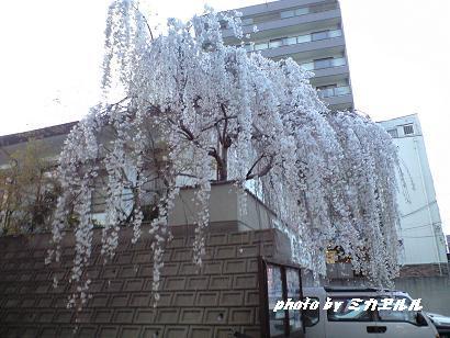 28日つるはしの桜CA390089