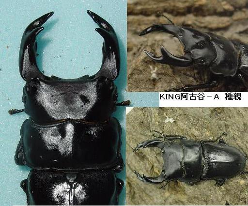KING阿古谷2008種親