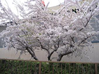桜080424