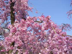 4月5日お花見 013