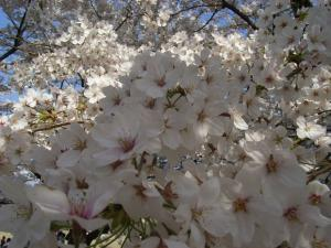 4月5日お花見 017
