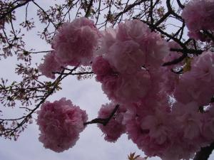 4月12日松尾・嵐山 014