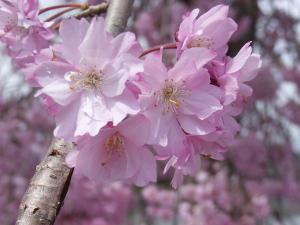 4月12日松尾・嵐山 015