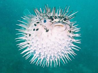 ハリセンボン魚