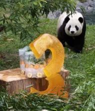 ワシントンの動物園生まれのパンダ「タイシャン」が3歳に