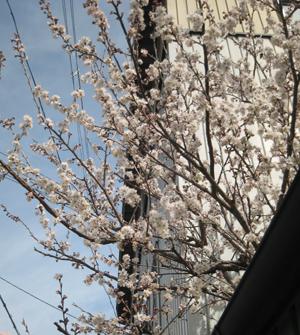 2008.3.15さくらんぼblog01