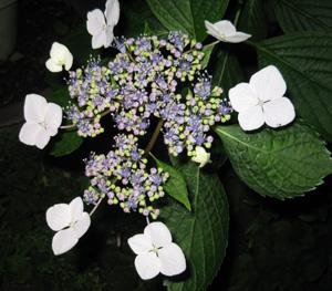 2008.6.1額紫陽花blog01