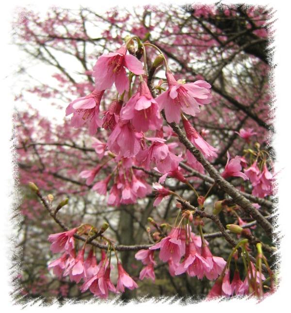 寒緋桜2008