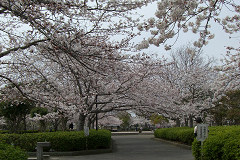 4月5日お散歩公園満開