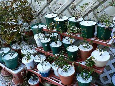 雪が積もったミニバラの鉢