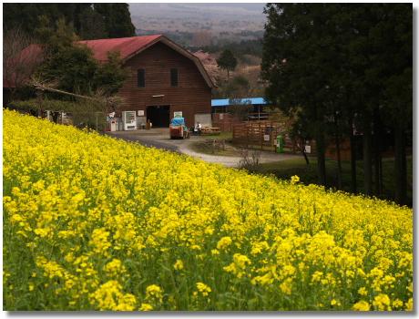 菜の花と小屋